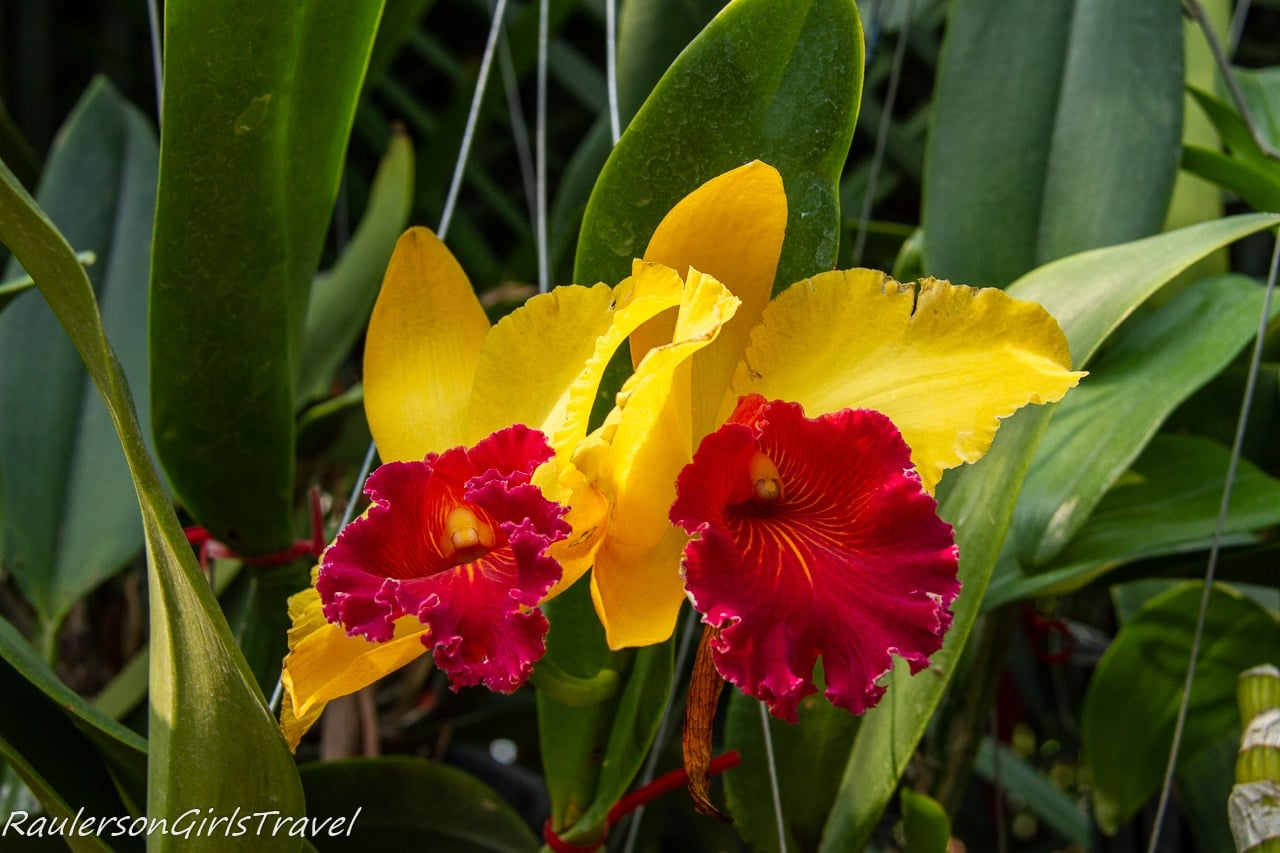 Yellow and red orchids