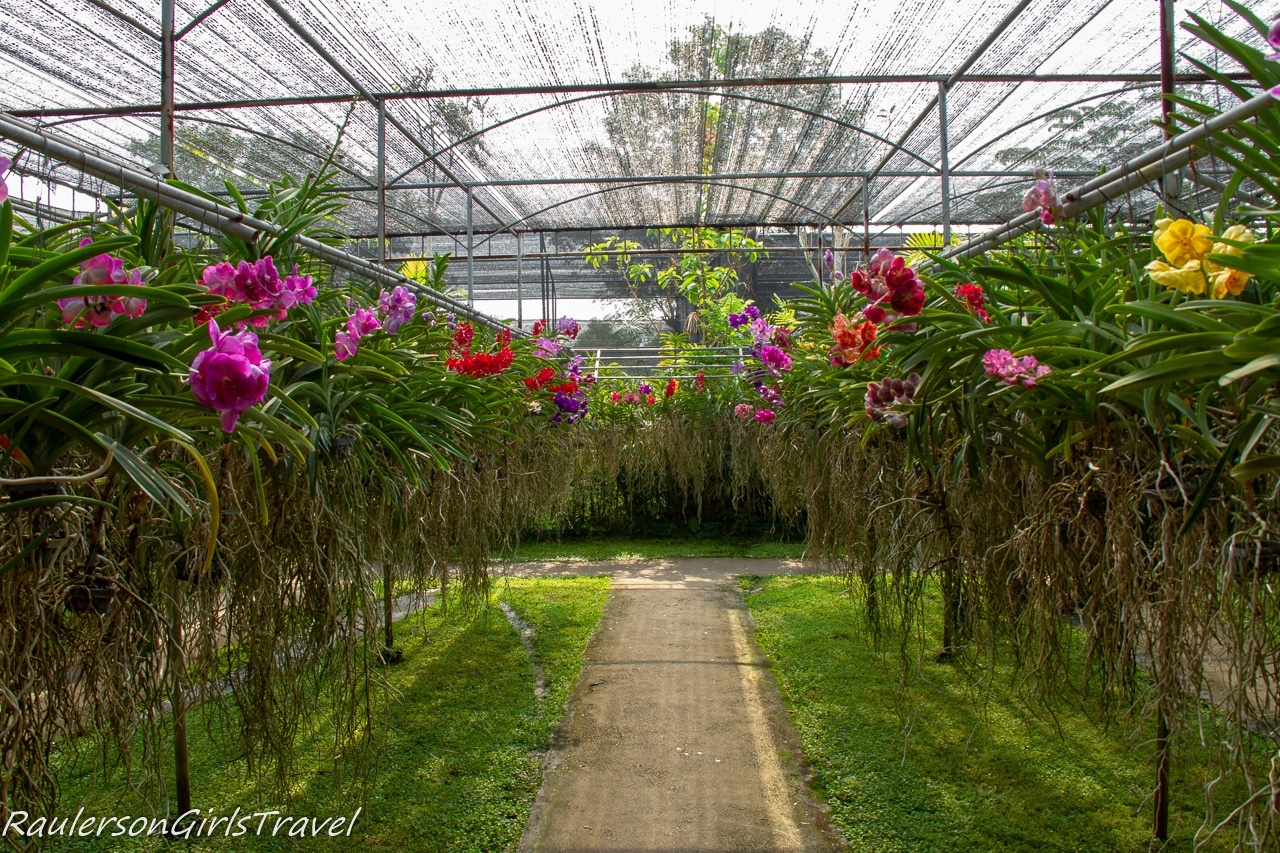 Rows of Orchids growing