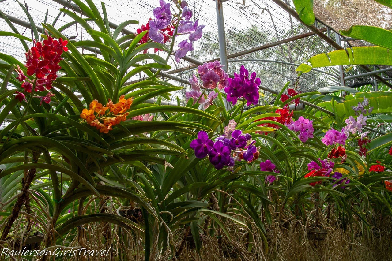 Row of colorful orchids
