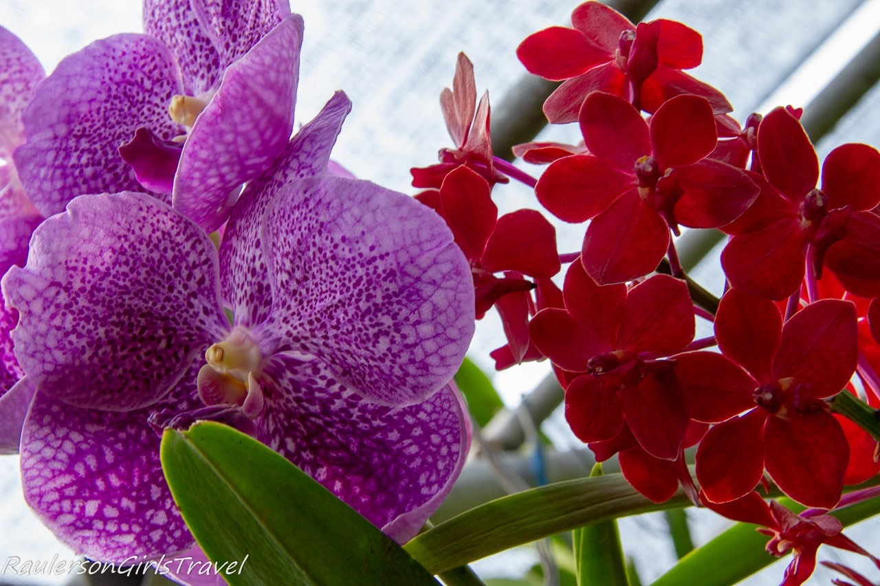 Purple and red orchids