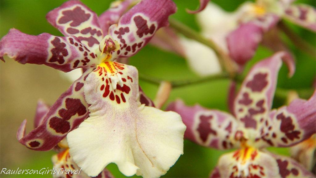 Orchids at Phipps Conservatory