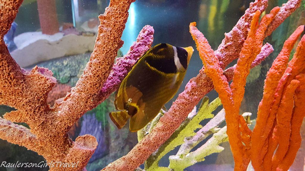 black and yellow fish with coral at Sea Life aquarium