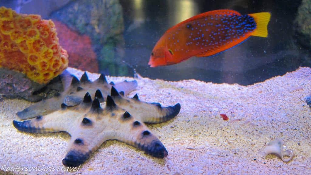 red fish with starfish at Sea Life aquarium