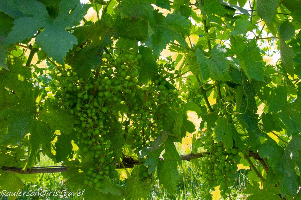 Grapes at Mazzorbo