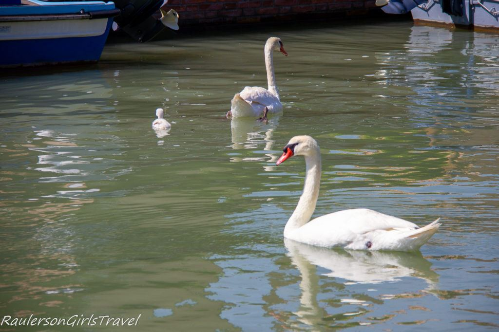 Swans in the canal at Mazzorbo