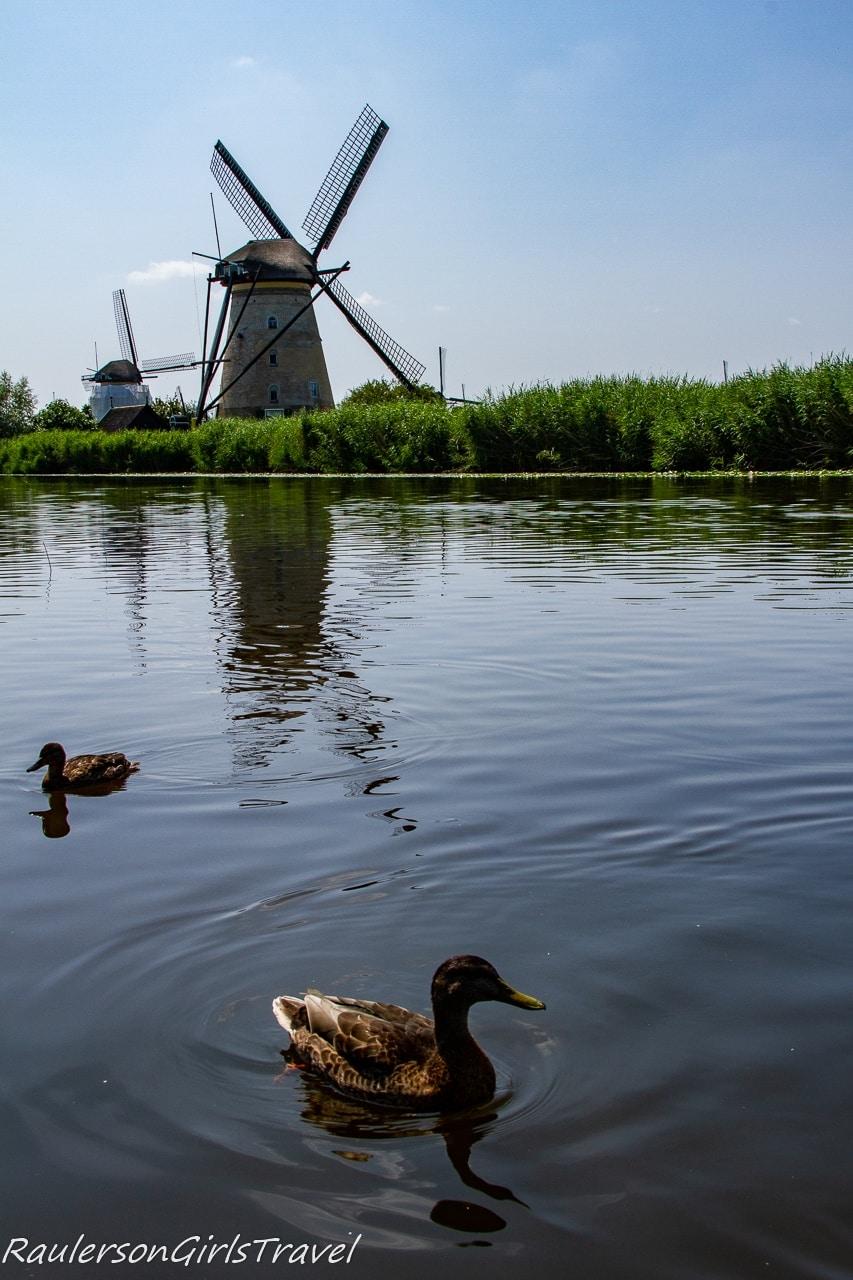 Ducks in front of the Kinderdijk windmills - Rotterdam