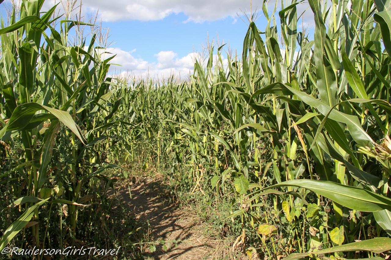 Giant corn maze at Blake's Cider Mill