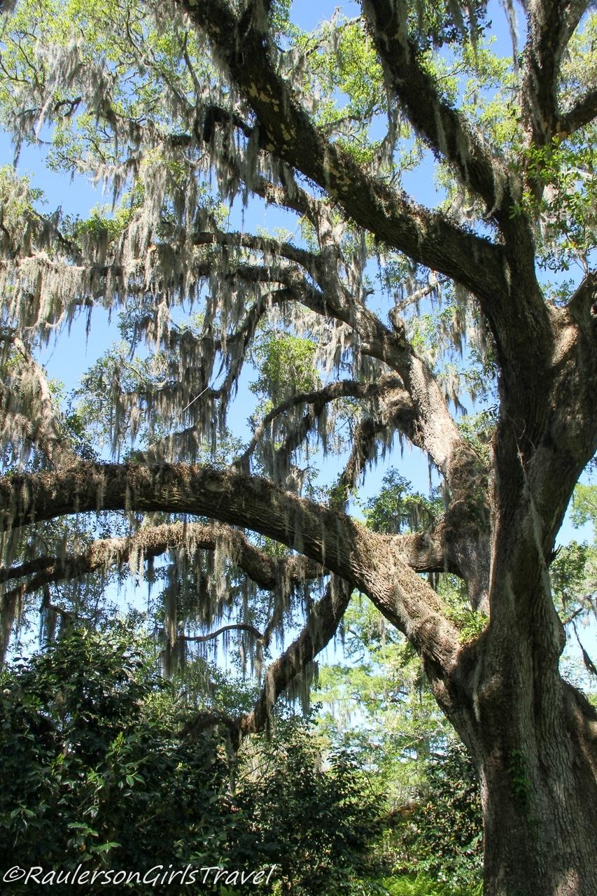Spanish moss hanging from Oak tree