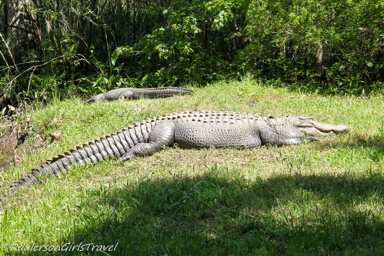 Alligator sunning himself in the grass at the BrookGreen Gardens Zoo