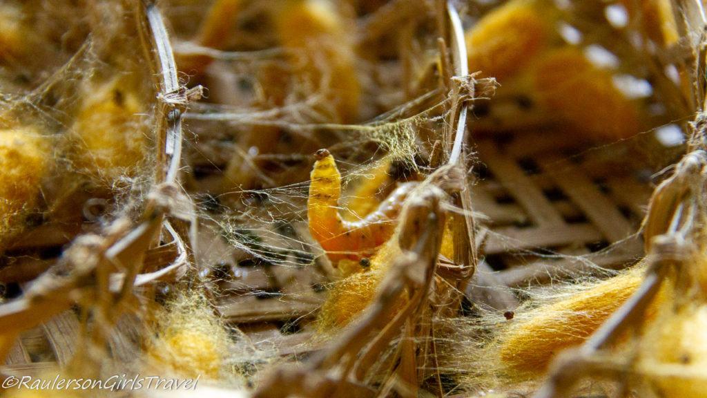 Caterpillar spins a cocoon of silk threads around itself