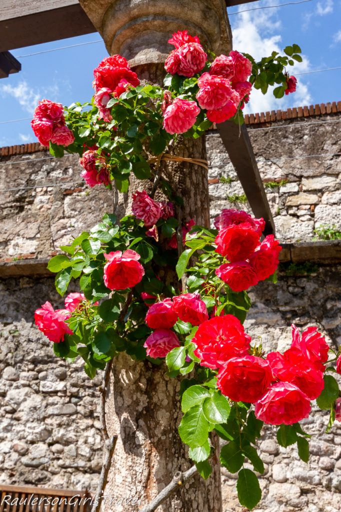 Roses growing on a trellis at Buonconsiglio Castle