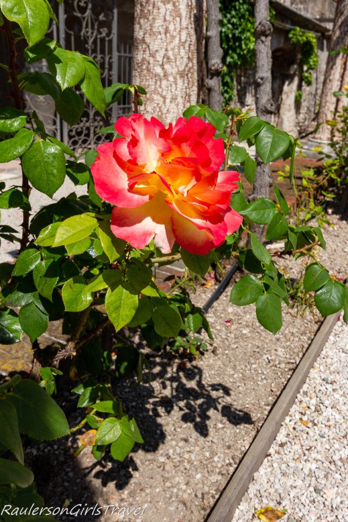 Multicolored Rose at Buonconsiglio Castle