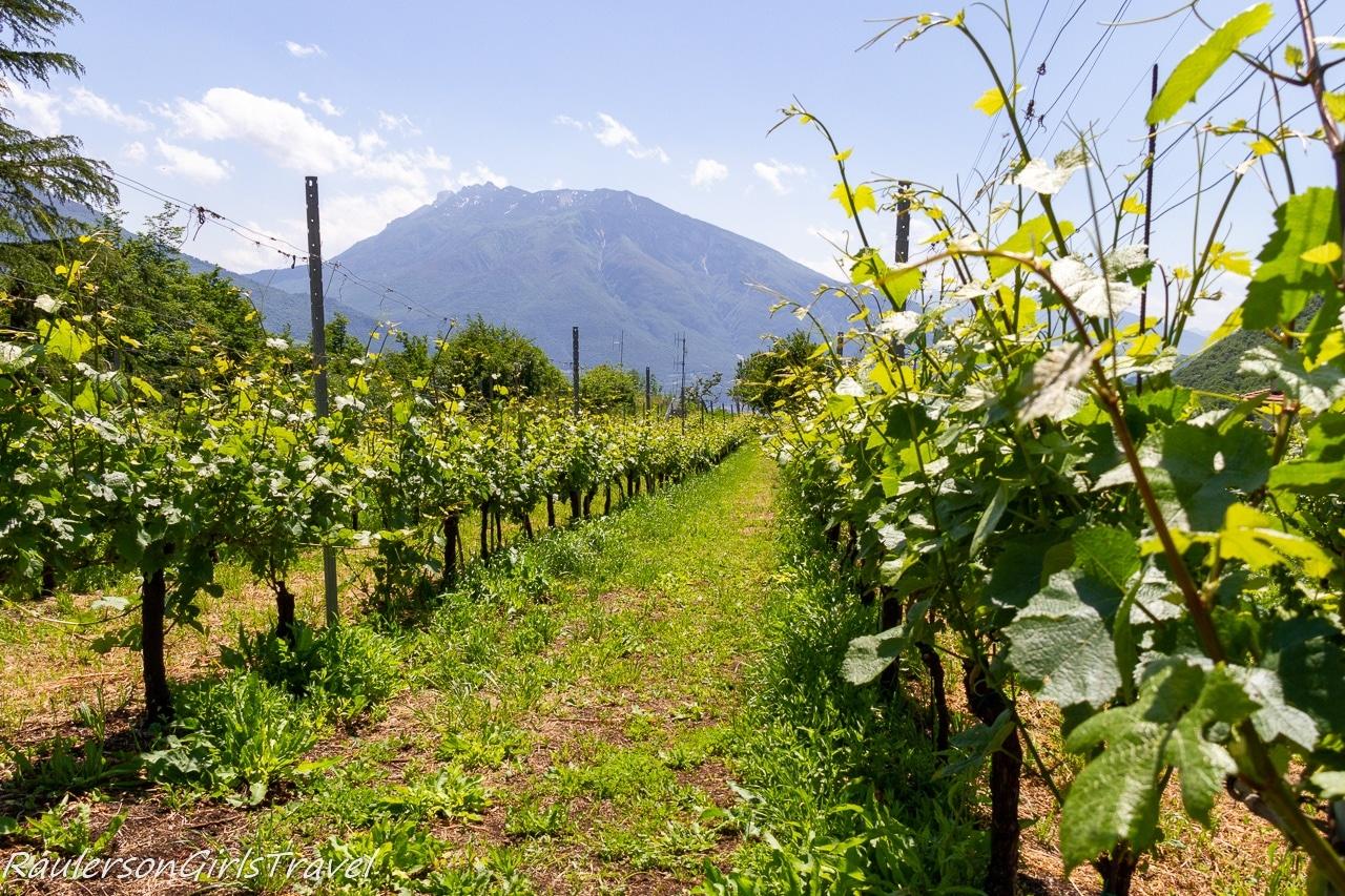 Vineyards in Sardagna
