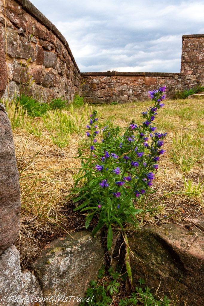Wildflowers on the Roof of Castle Nanstein
