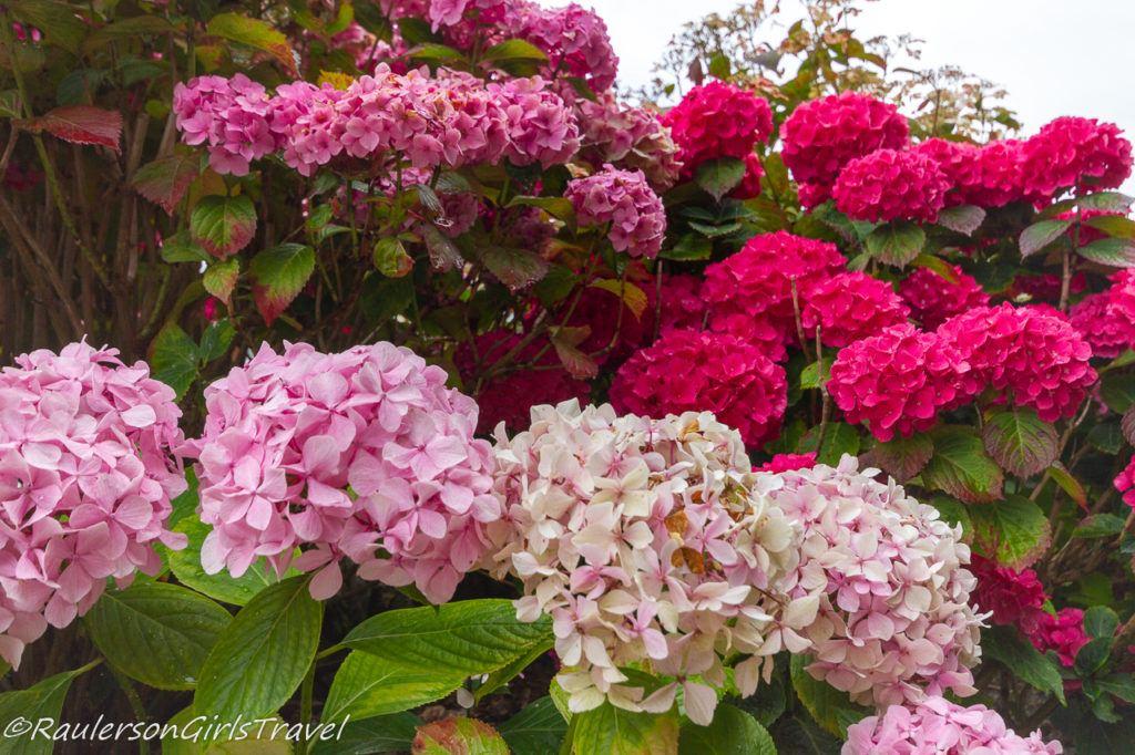 Pink hydrangeas in Portmeirion Village