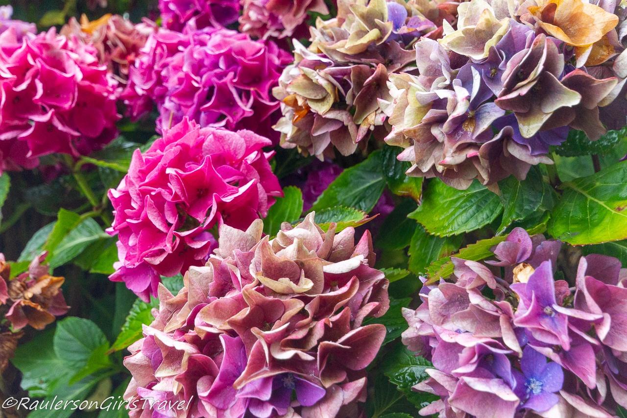 Pink and purple hydrangeas in Portmeirion Village
