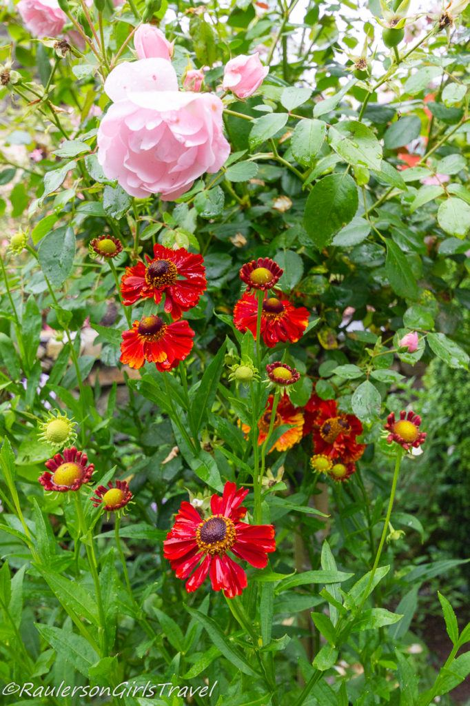 Red flowers in Portmeirion Gardens