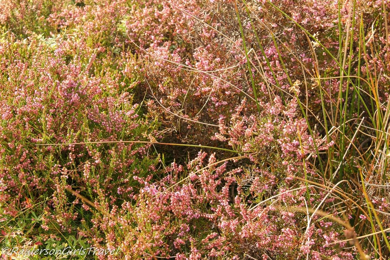 Heather flower in Scotland