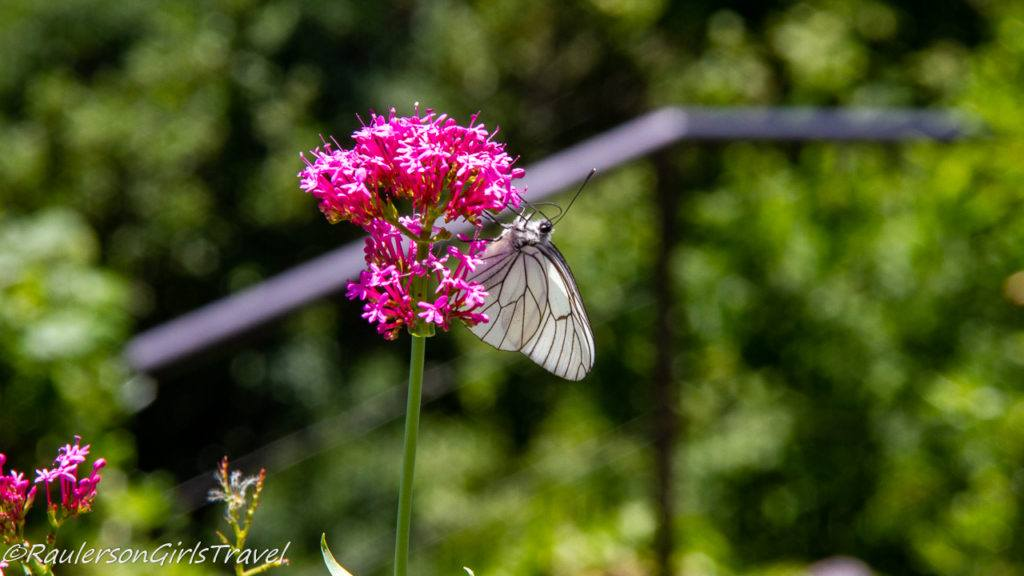 White Butterfly on Pink Flower in Brunate