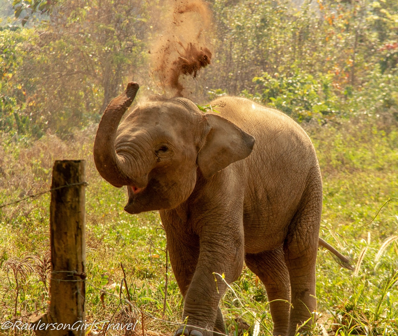 Baby Elephant Throwing Dirt on Back