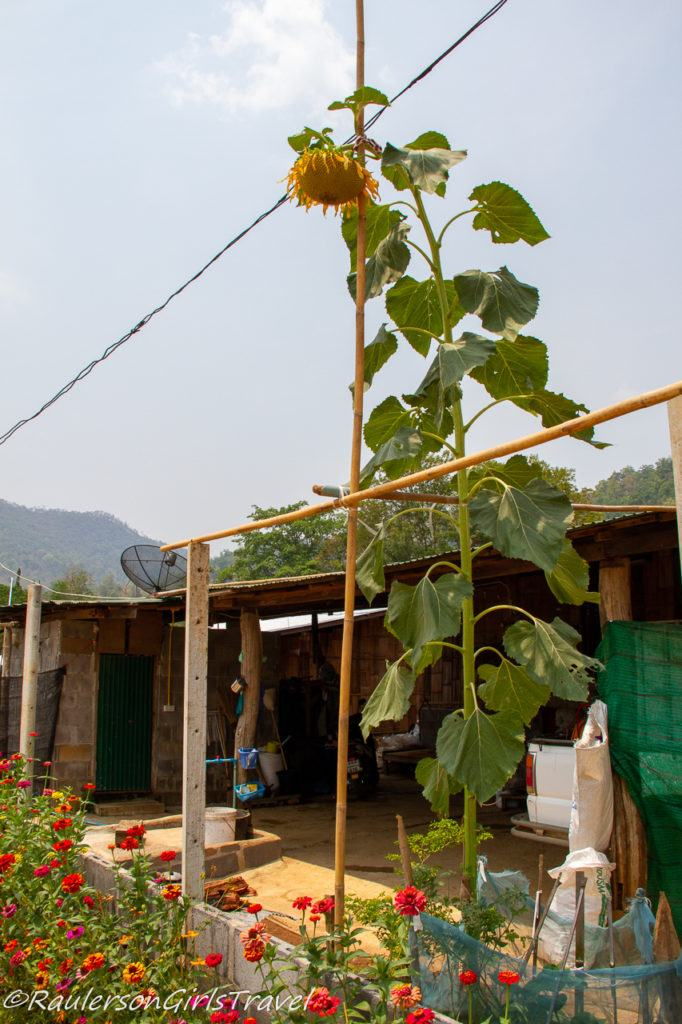 Tall Sunflower in Thailand