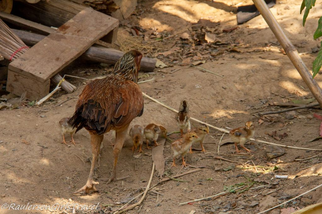 Hen and baby chicks