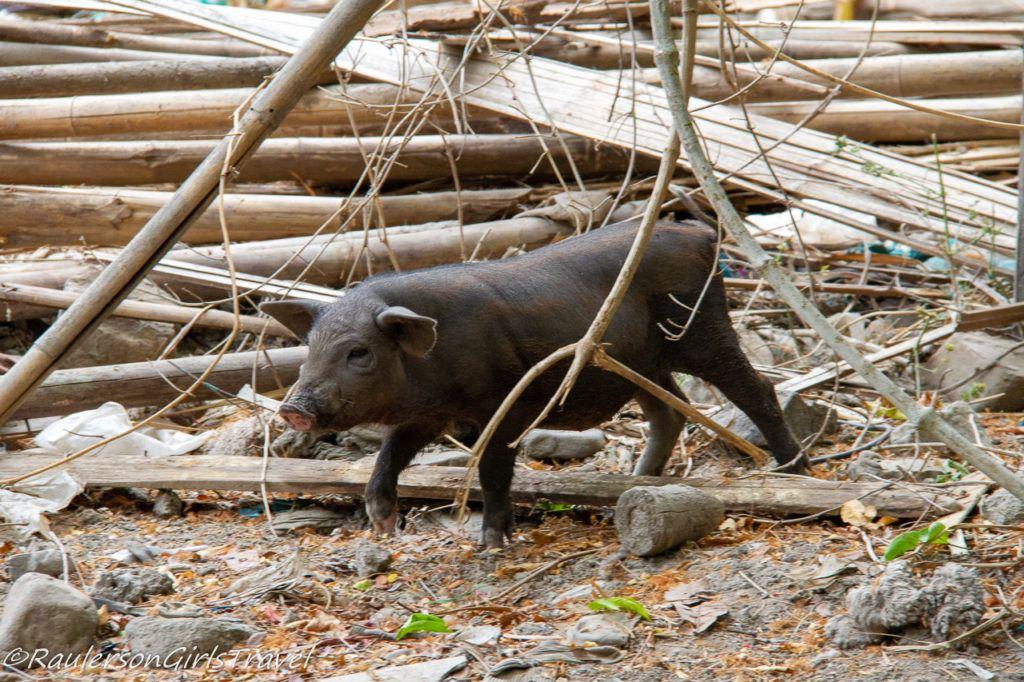 Pig walking around