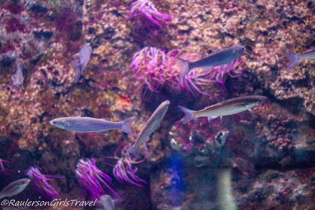 Fish by purple coral