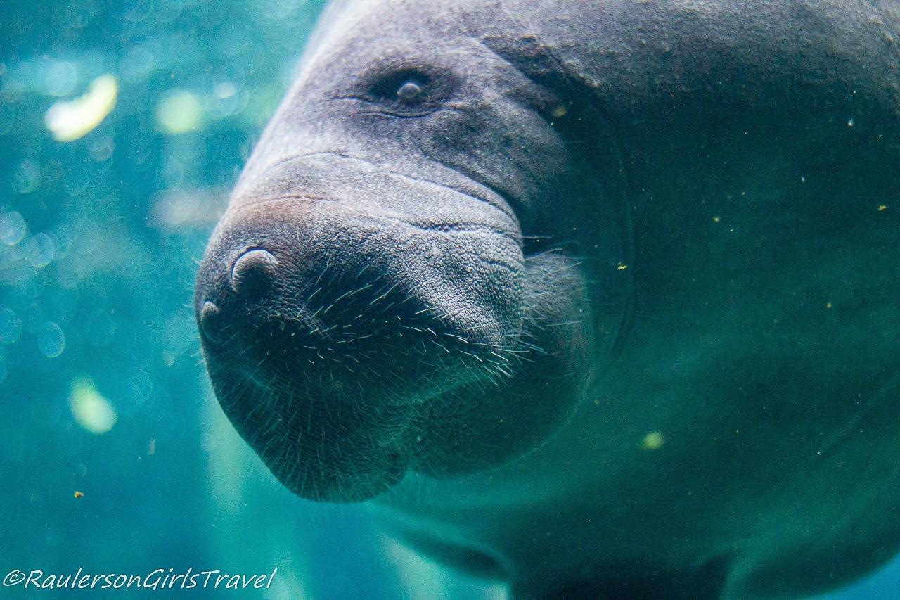 Close-up of Manatee - Aquarium of Genoa