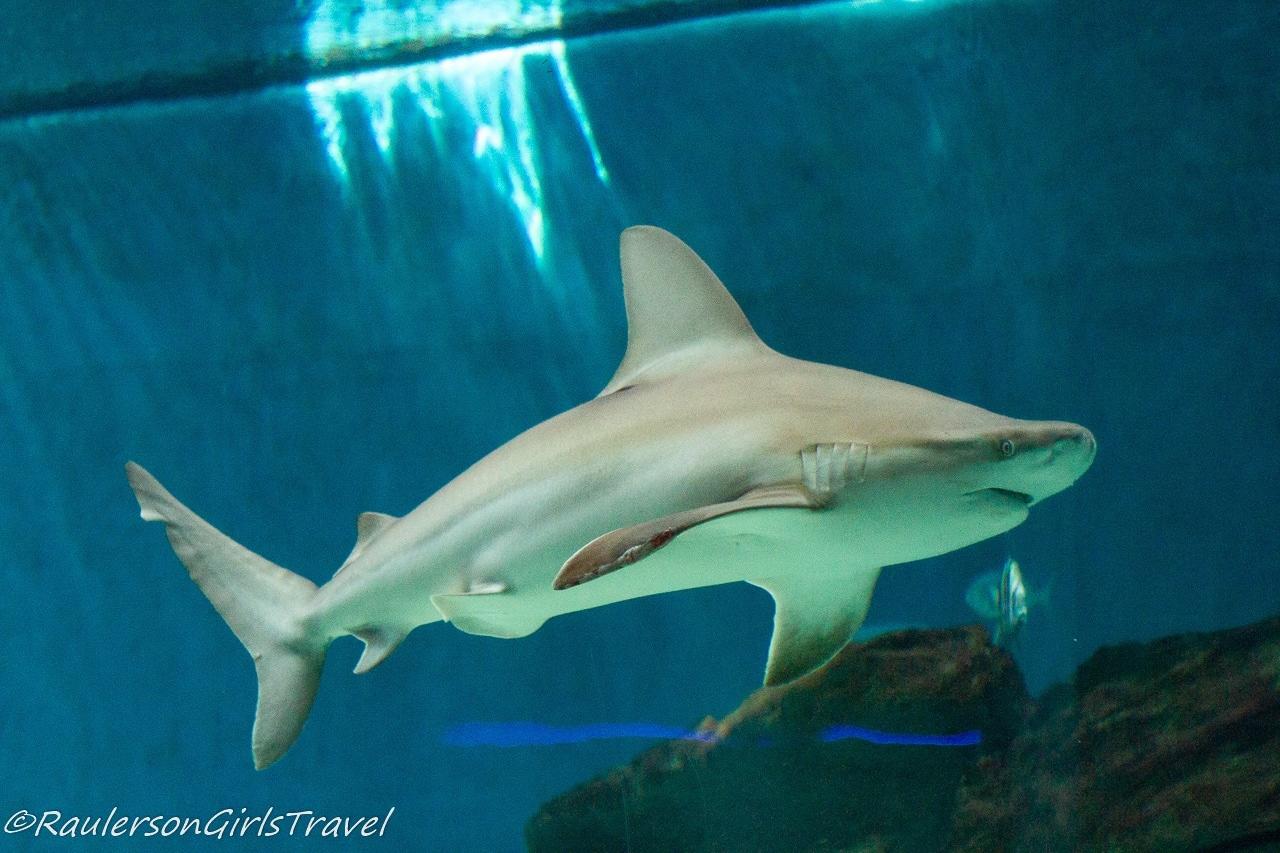 Shark - Aquarium of Genoa