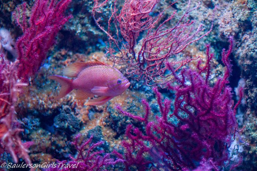 Pink Fish in Pink Coral