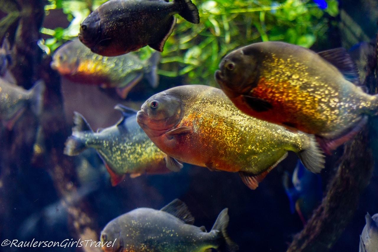 Group of Piranha