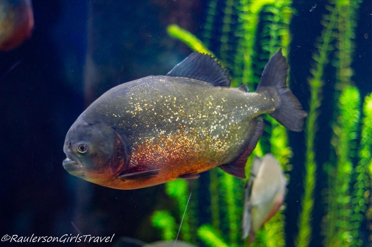 Piranha - Aquarium of Genoa
