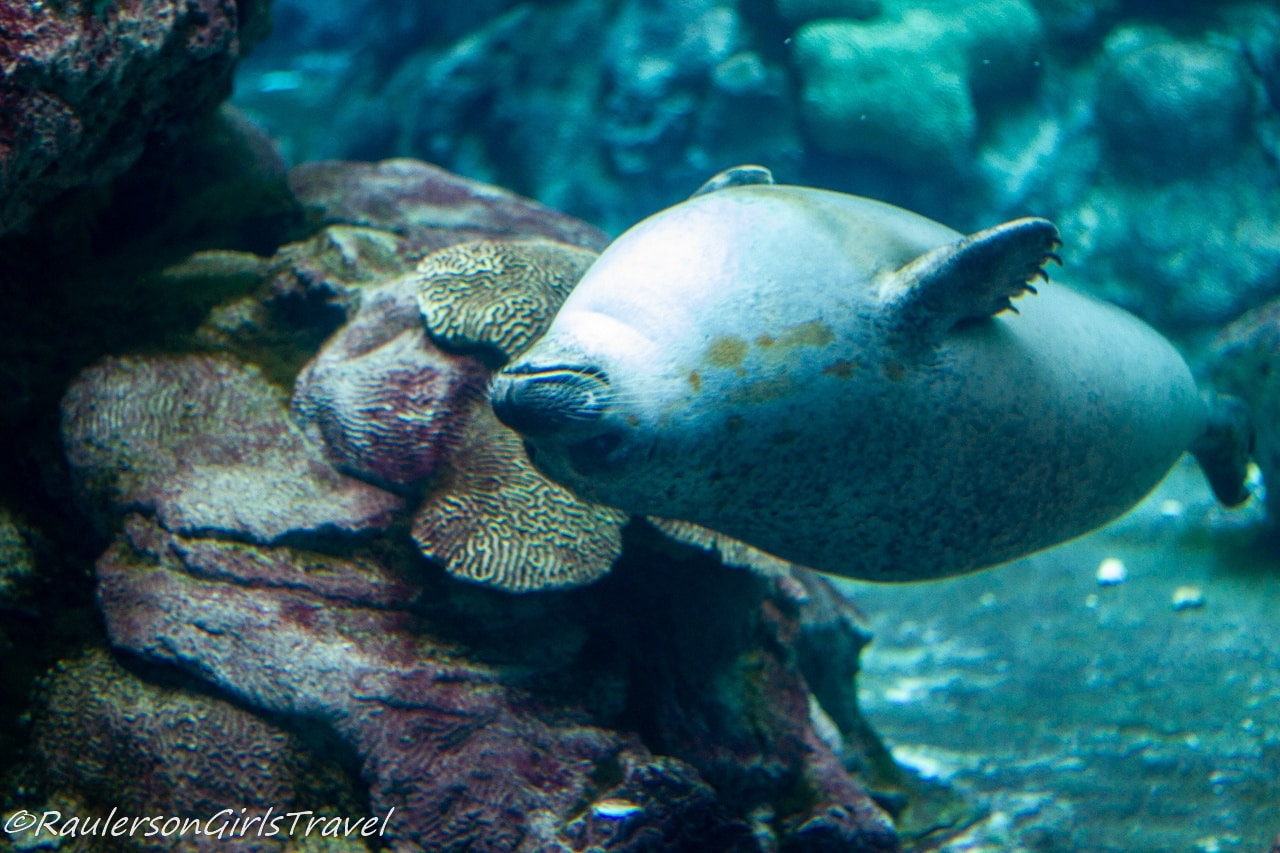 Seal swimming upside down