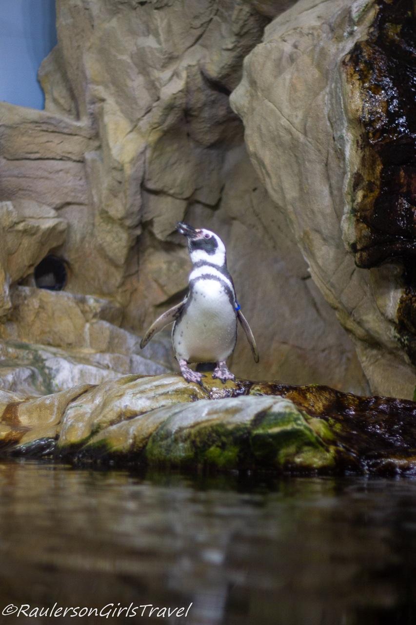 Penguin at the Aquarium of Genoa