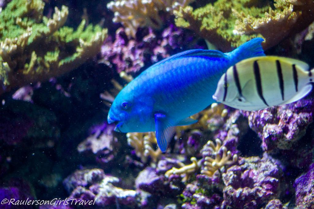 Blue fish with yellow and black striped fish