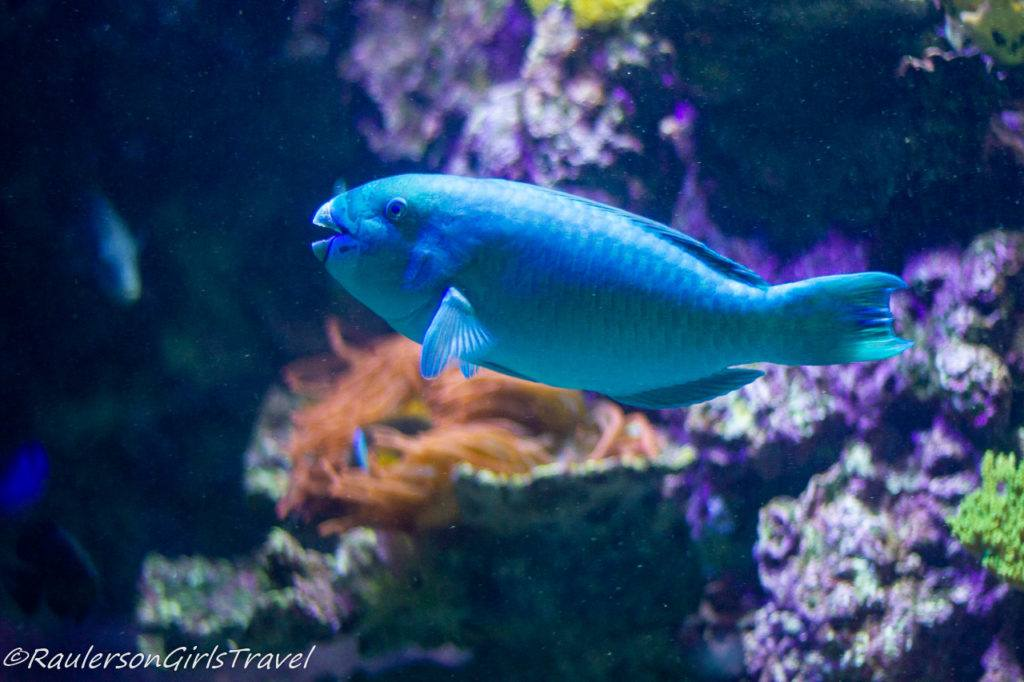 Blue fish swimming by rocks and coral