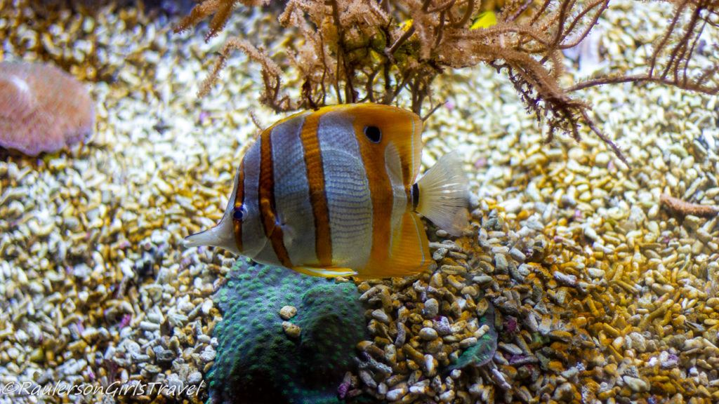 White and Yellow striped fish