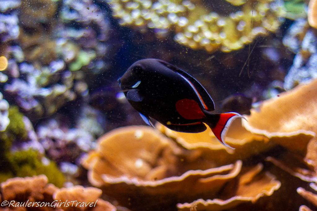Black and red fish