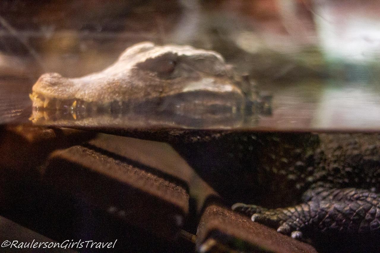 Crocodile resting in water