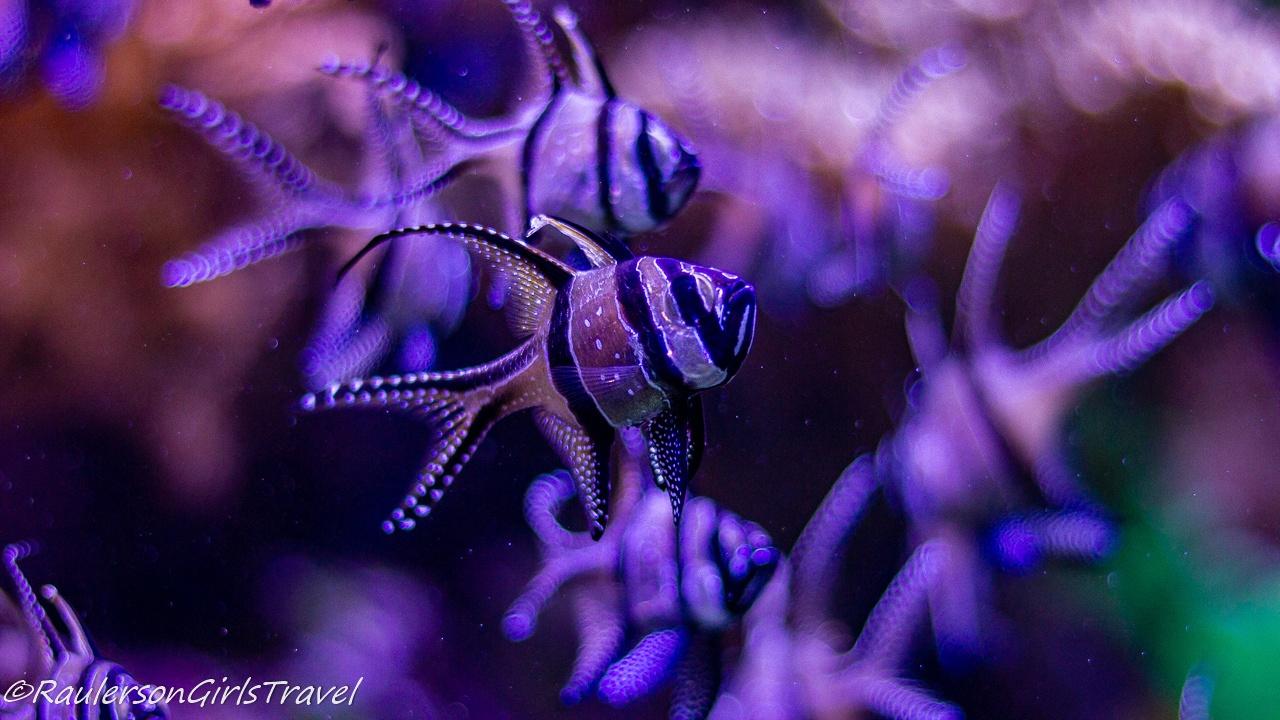 Banggai cardinalfish close-up