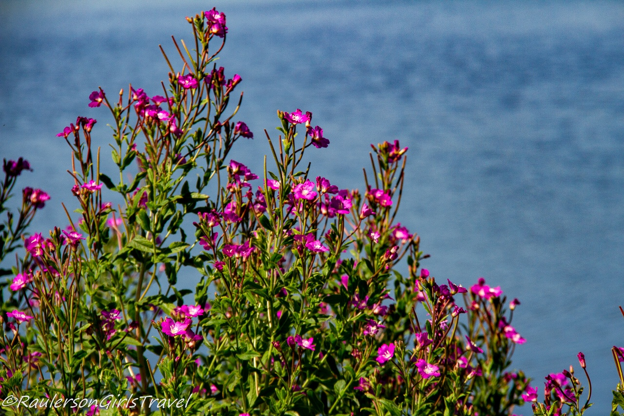 Bright Pink Flowers in front of Llyn Cefni