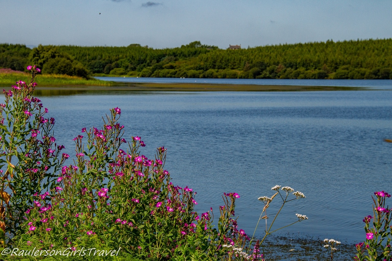 Pink and white Flowers in front of Llyn Cefni