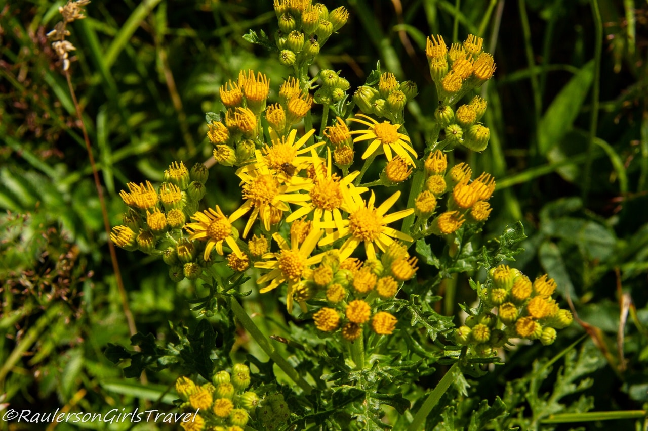 Yellow flowers in the Dingle