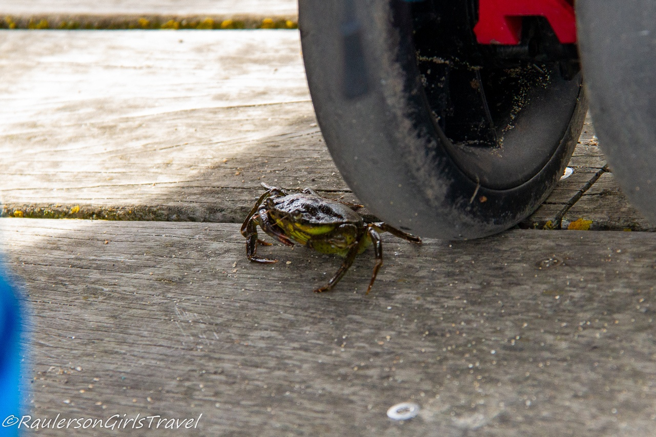 Rogue crab got loose on the pier