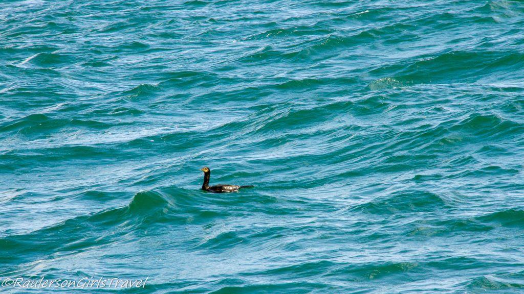 Bird in the water in Menai Strait
