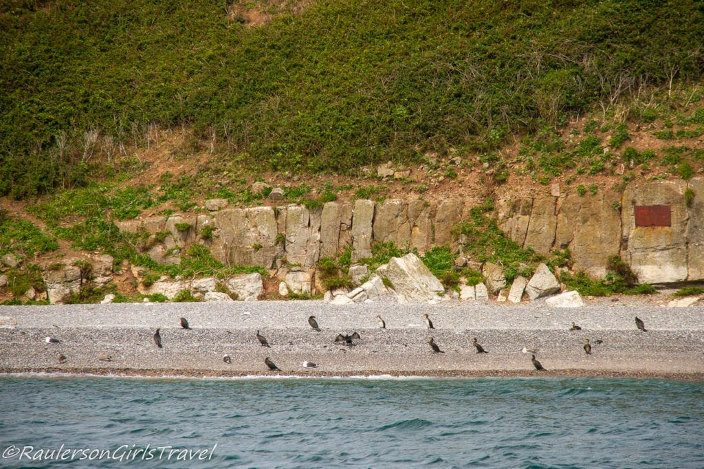 Birds hanging on the beach of Puffin Island