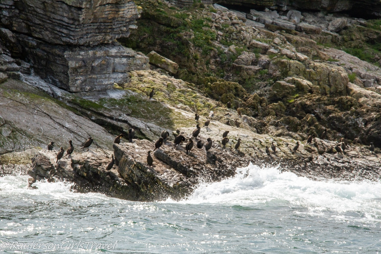 Birds sitting on rocks by the waves on Puffin Island