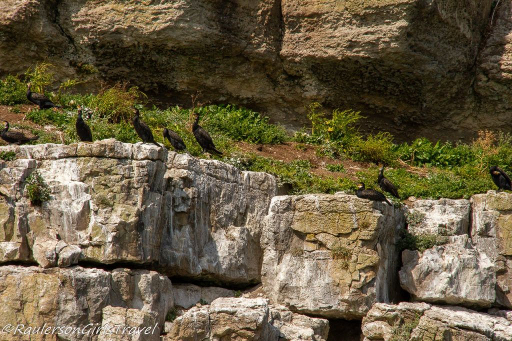 Black birds perched on a rock ledge on Puffin Island