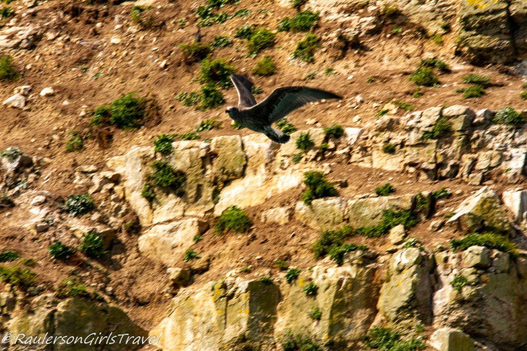 Bird Flying near Puffin Island